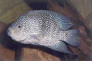 Texas cichlid Herichthys cyanouttatus