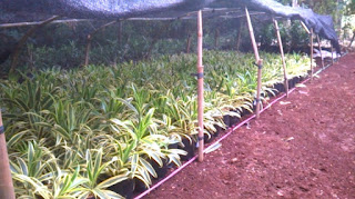 pembibitan tanaman hias