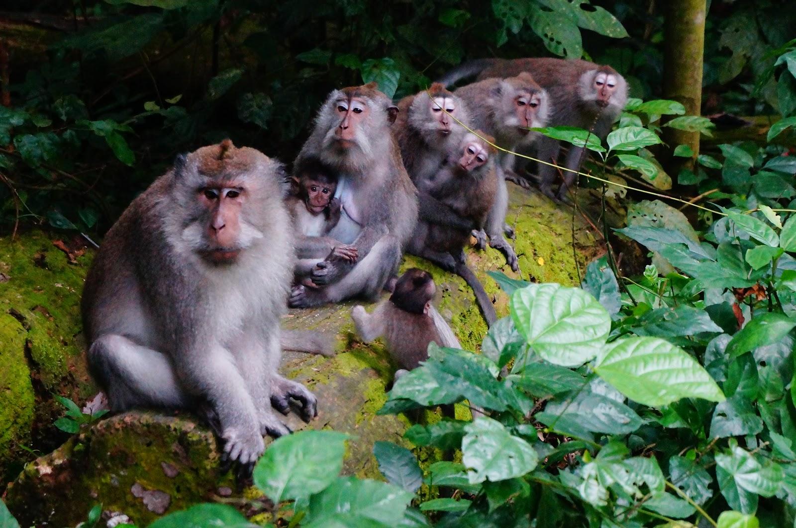 Monyet-Monyet di Hutan Suranadi (Sumber: ziadahsjournal.blogspot.com)