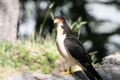 White throated Caracara