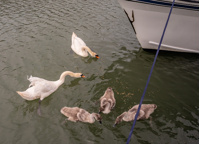 Photo of the swan family feeding by Ravensdale's bow