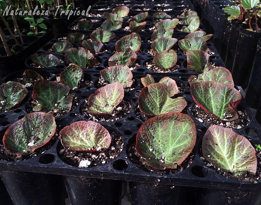 Hojas de begonias recién sembradas para su multiplicación