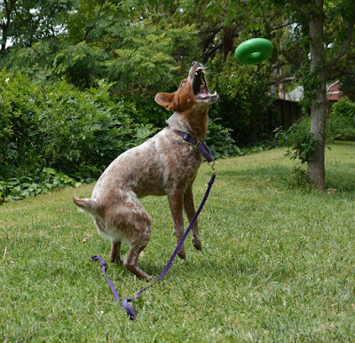Australian cattledog catching extremely durable chew toy