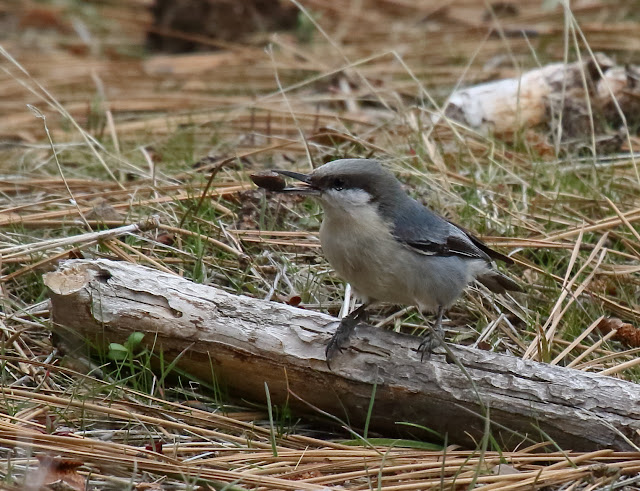 Pygmy Nuthatch with pine nut