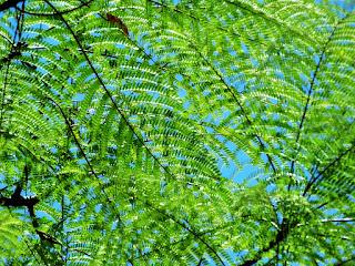 Folhas no Alto de Árvore no Parque Saint Hilaire, Viamão