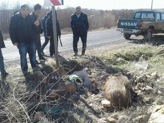 Bozova'da yaban domuz'u telef oldu