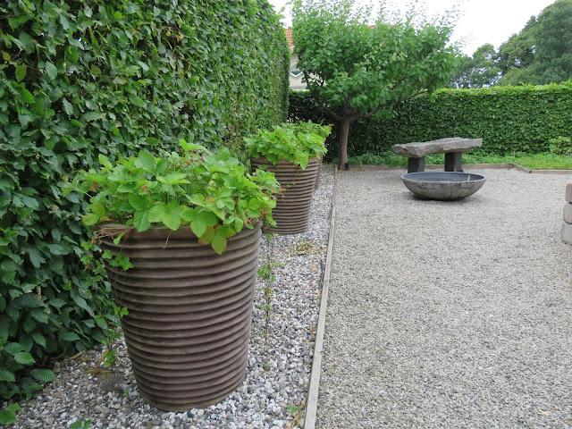 Nyt den hvite hagen - Markjordbær i store krukker, my white garden, trädgårdsrundan, Helsingborg