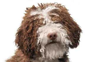 Everything about your Spanish Water Dog