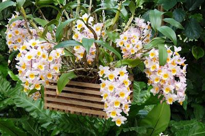 Bunga Tercantik di Dunia-Dendrobium-Farmeri-Kroton