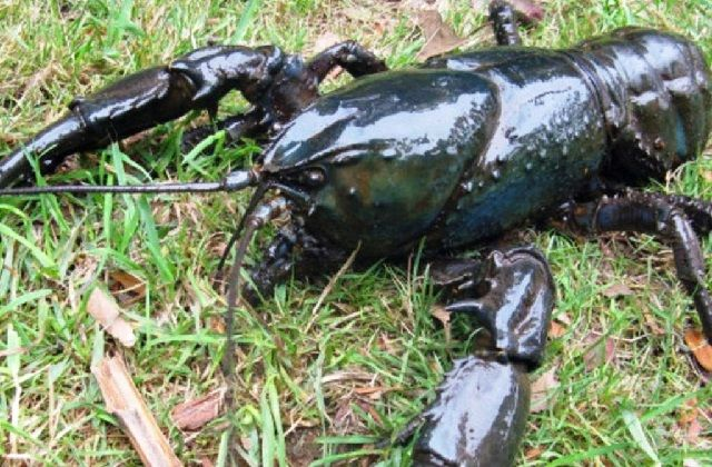 Gambar Lobster Air Tawar