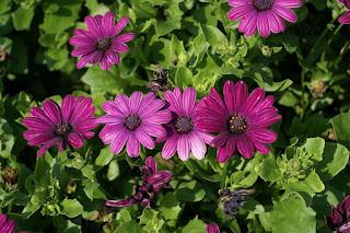 Dimorphotheca ecklonis 'Crescendo purple' - Osteospermum ecklonis 'Crescendo purple'