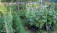 огурцы,выращивание огурцов,   cucumbers,growing cucumbers,die Gurken,den Anbau von Gurken,