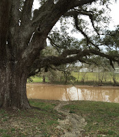 Live oak along Bayou Teche at Arnaudville, Louisiana