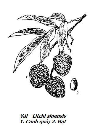 Hình vẽ Quả Vải - Litchi sinensis - Nguyên liệu làm thuốc Chữa Đi Lỏng-Đau Bụng