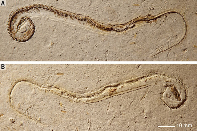 Fosil Hewan Purba Nenek Moyang Ular