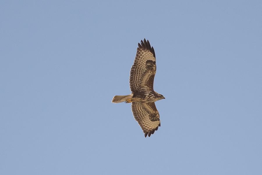 Steppe/Common Buzzards