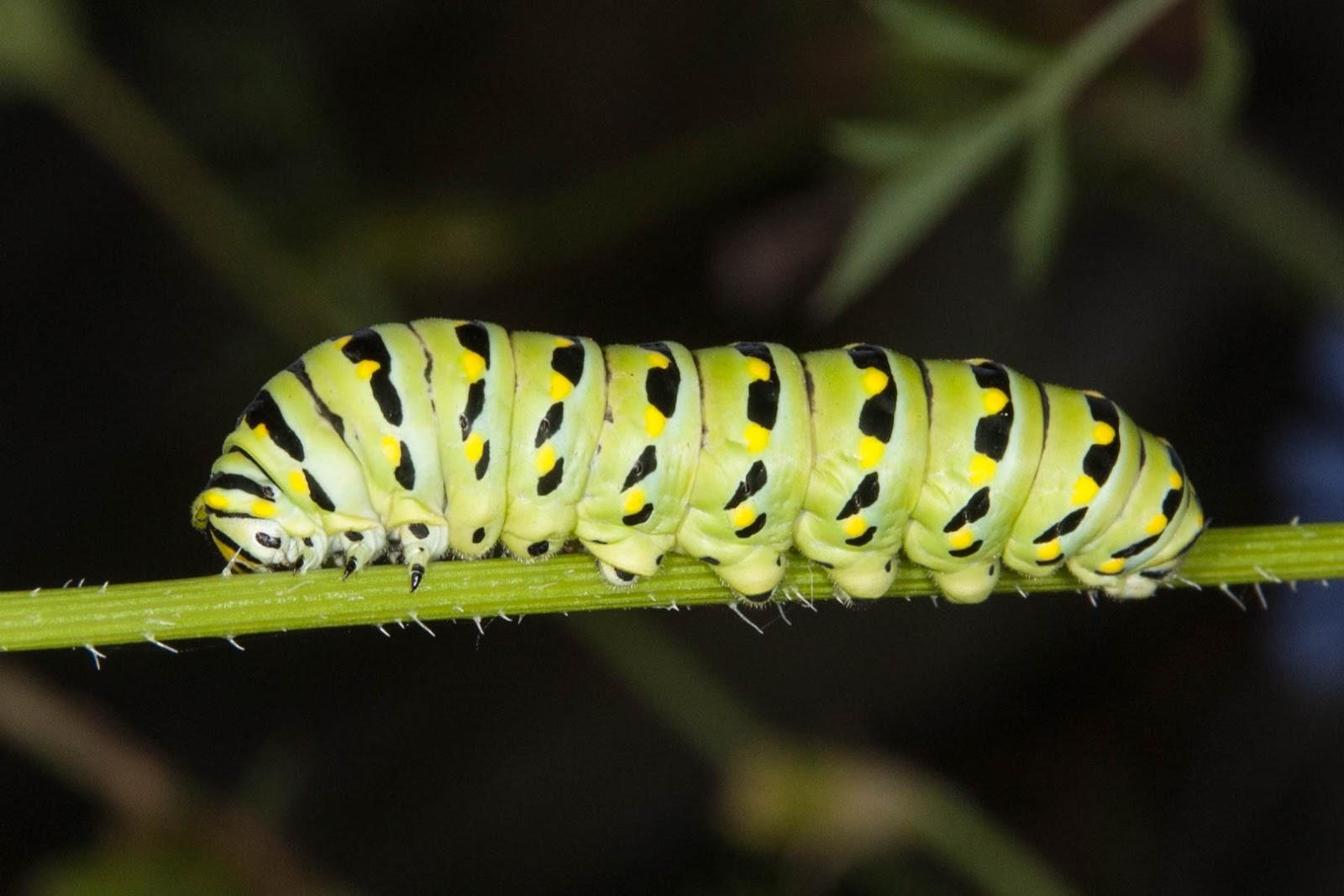 Champlain Islands' Nature: Eastern Black Swallowtail ...