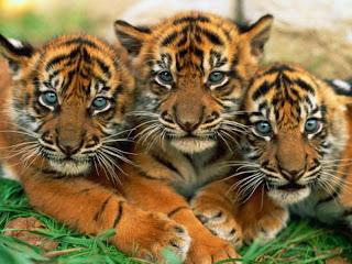 Tres Cachorros de Tigres