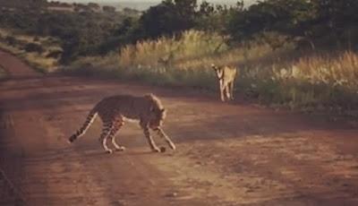 dua cheetah bermain sepakbola