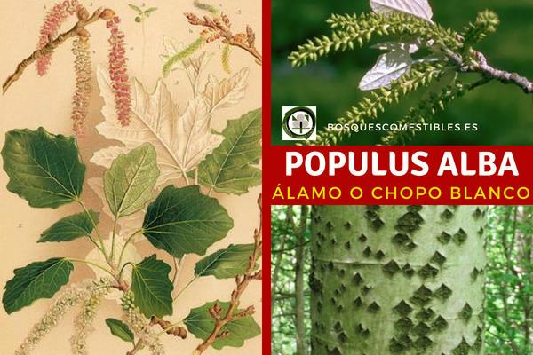 Populus alba, álamo blanco es un árbol de rápido crecimiento, florece a partir del mes de febrero y hasta abril.
