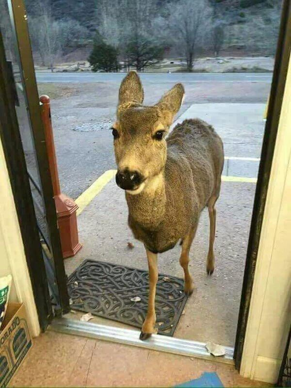 Shop Owner Fed Deer That Came In And The Beautiful Animal Came Back With Its Entire Family