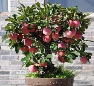 cara menanam pohon apel,pohon buah apel,cara pembibitan apel,cara menanam apel di pekarangan rumah,cara menanam buah apel yang baik dan benar,cara merawat pohon apel,