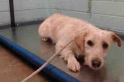 Heartbroken pup so terrified in the shelter...sadly, going to be killed for fear