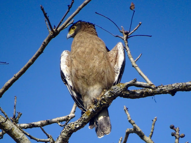 Crested serpent eagle in Dudhwa National Park