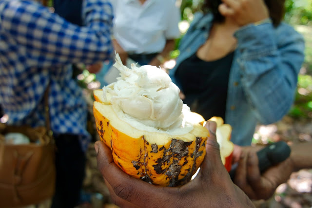 A fresh Cocoa pod sliced open. Look at all that juicy goodness!