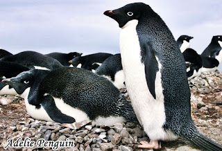 Animals That Start With Ad - Adelie Penguin