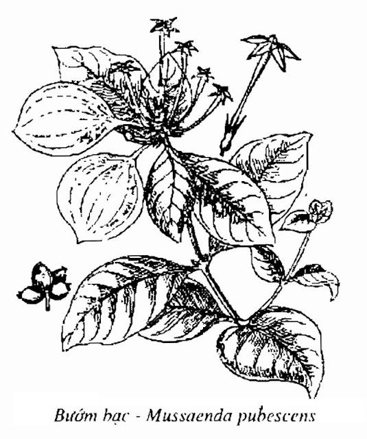 Hình vẽ Cây Bướm Bạc - Mussaenda pubescens - Nguyên liệu làm thuốc Chữa Tê Thấp và Đau Nhức