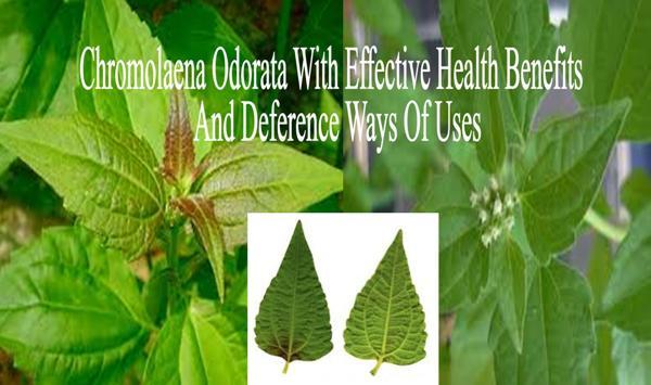 20 Ways Of Using Chromolaena Odorata With Effective Health Benefits