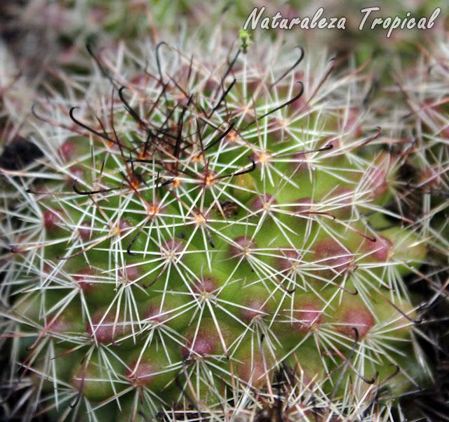 Mammillaria beneckei es un cactus globoso con flores amarillas muy vistosas
