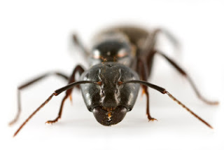 como eliminar hormigas en casa