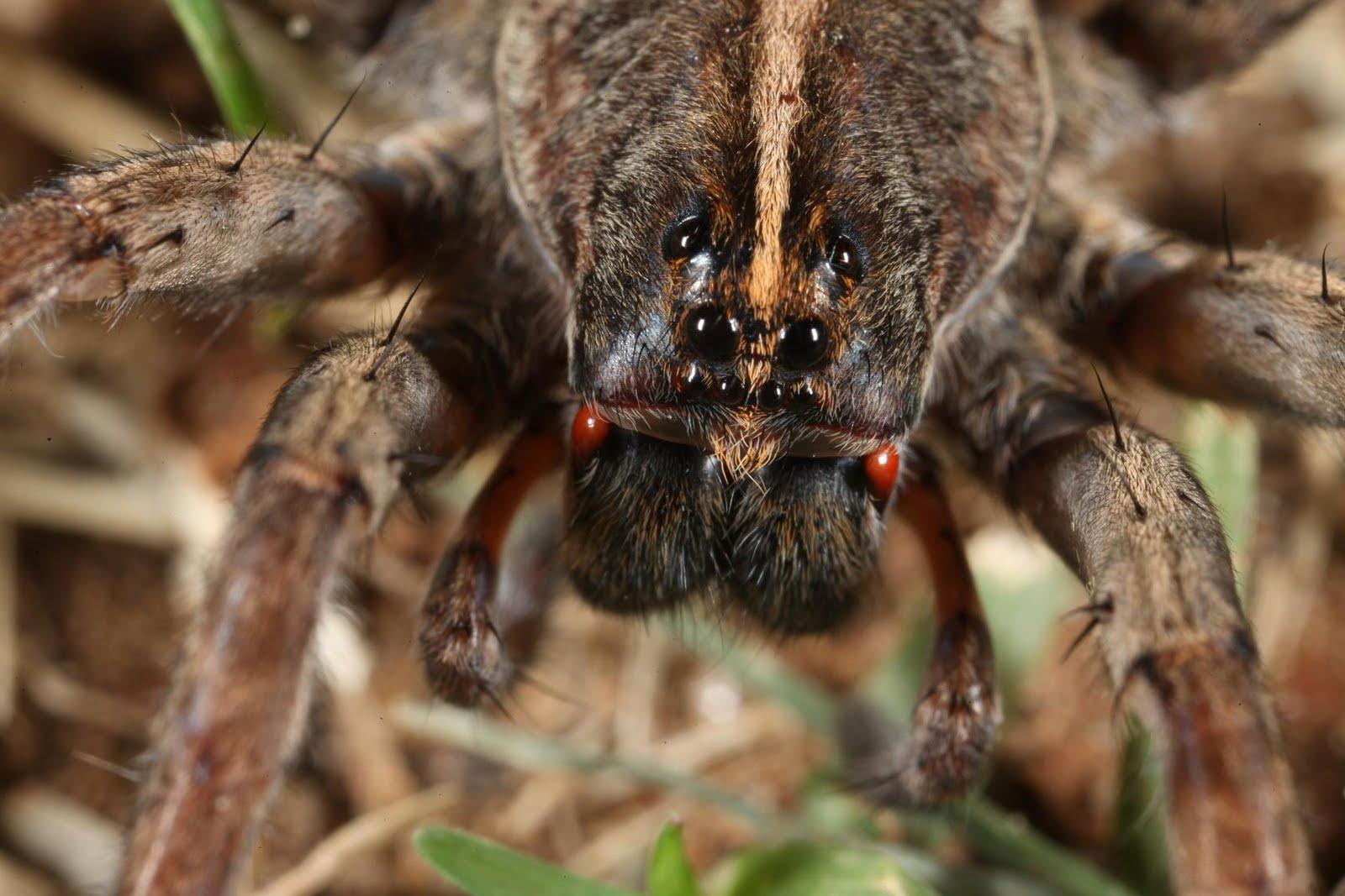 JaredDavidsonPhotography: Macro photographs of a wolf spider.