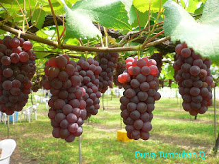 jenis vitis rotundifolia