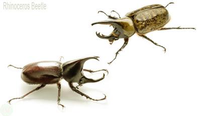 Rhinoceros beetle insect