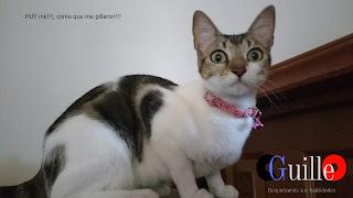 Gato se sorprende - CGuilleO