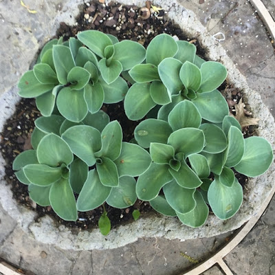 Blue Mouse Ears Hosta in hypertufa container