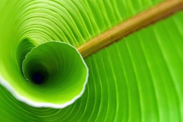 manfaat daun pisang bagi kesehatan