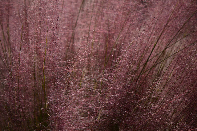 muhlenbergia capillaris, regal mist, pink muhly, ornamental grass, amy myers, small sunny garden, desert garden, photography