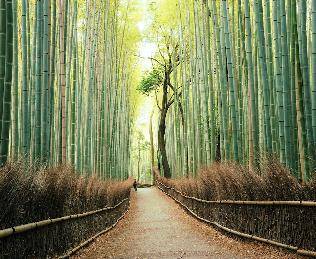 A magnificent Bamboo forest in the district of Arashiyama, west to Kyoto, Japan