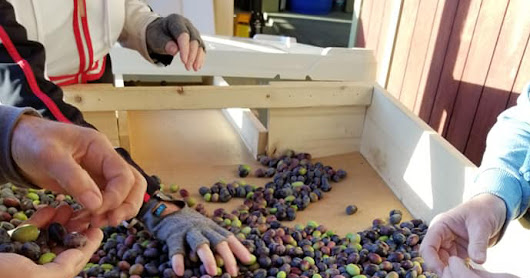2018 Olive Harvest -- What Worked, What Didn't Work