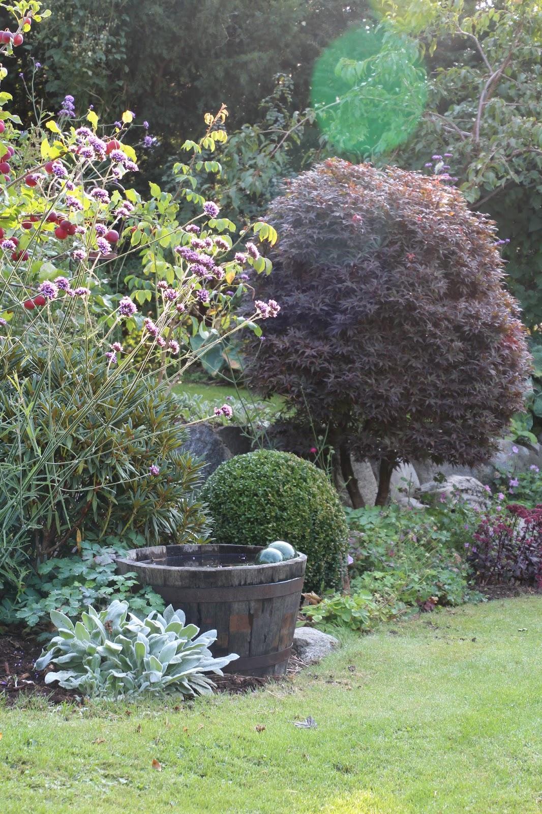 Japansk lönn Acer palmatum 'Skeeters broom'
