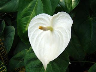 bunga anthurium putih