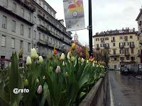tulipani in piazza Emanuele Fliberto