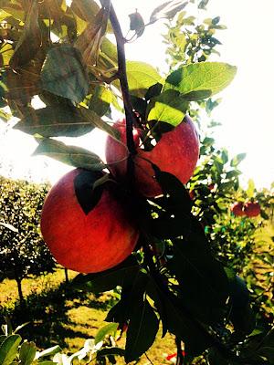 appletree - Apple Orchard Photoshoot