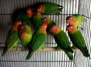 Lovebird, ngekek Lovebird,Cara Mencetak Anakan Lovebird yang Berkualitas