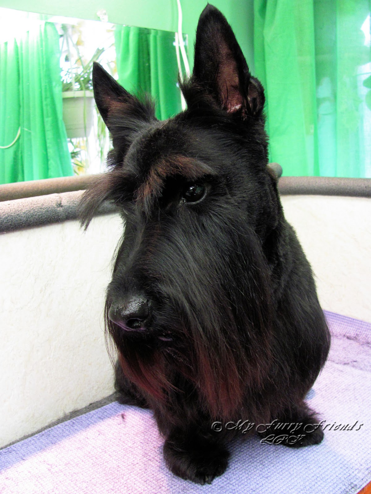 pet grooming the good the bad the furry a scottie makeover
