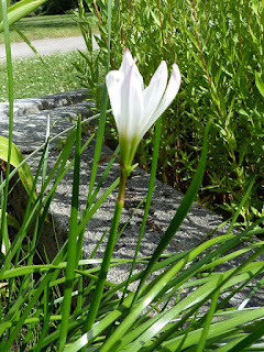 Lis zéphyr - Zephyranthes candida